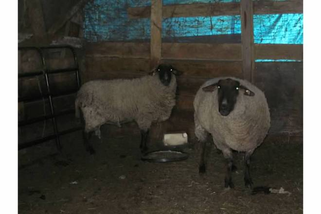 2 sheep in the barn