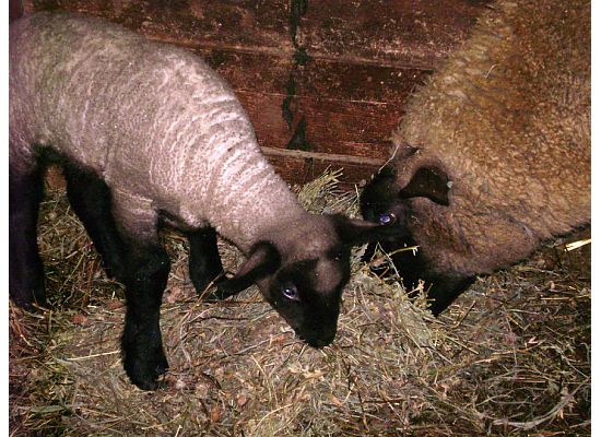 A lamb and Ewe eating hay in our barn