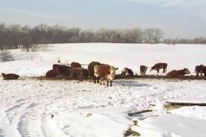 Herefords in Snow - These are our cows a couple of years ago