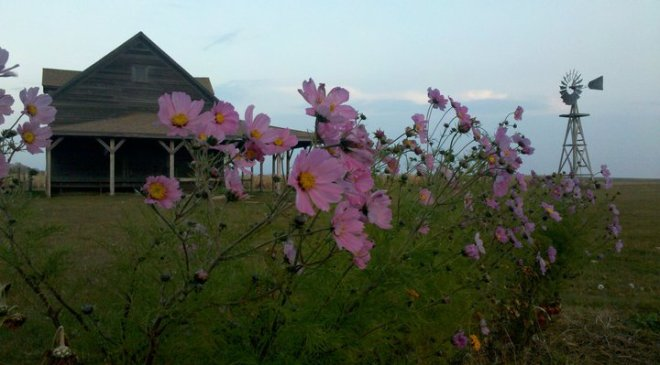 Cosmos at Ingalls Homestead