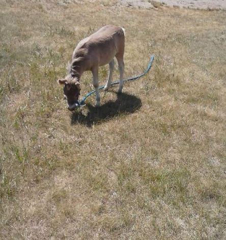 Baby Horse Ingalls Homestead 2016