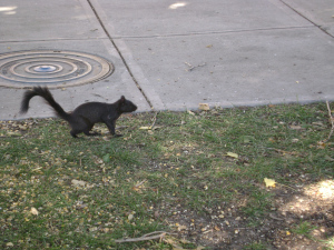 Black Squirrel of Council Bluffs